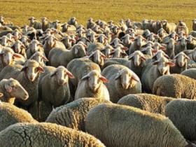Crowd_of_sheep