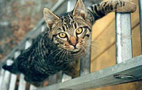 Cat_on_ladder