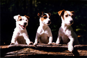 Three_dogs_3