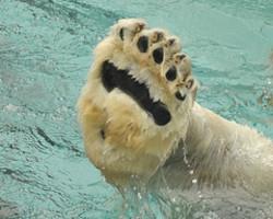 Polar_bear_paw